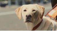 日本盲導犬協会のcmが気持ち悪いです。 『盲導犬が可哀想』、と言われた後に犬が人の言葉で『ん?世間の誤解に吠えさせてもらいますわ。うちらいつも一緒におんのが幸せやおもてんのに、そんなん言われたら相方も悲しむわ。どうか、そんな目で見んといてや、ほんまお願いしますわ』  と喋り出します。作り手の勝手な想像でこれをCMで出すのは印象操作ですよね??   逆に犬が人の言葉で『実はそうなんだ...