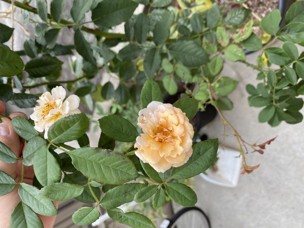 5月に植えた新苗のバフビューティーに初めての花が咲きました。 思っていたより小ぶりな花なのでが これから大きくなっていくのでしょうか? それとも何か原因があるのでしょうか