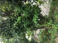 木の種類を教えて下さい。 庭に生えてるのですが、種類がわかりません。よろしくお願いします。