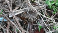 閲覧注意です。 この蜂の巣を駆除したいのですが、なんの蜂か分かりますか? 宜しくお願いします。