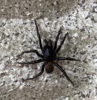 【虫(蜘蛛)について】 画像の蜘蛛が家の外壁にいました なんていう蜘蛛かわかる方いますか? 見たこともない蜘蛛で、近所には小さい子どもいるので心配です 大きさは足も含めて500円ほどです  よろしくお...
