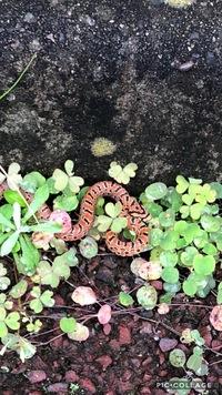 家の花壇にいました。 この蛇の種類を教えて欲しいです。 調べたのですが分からなくて。
