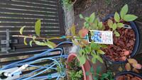 ブルーベリー栽培を初めてチャレンジ中の超初心者です。 2週間ほど前、サザンハイブッシュ系の苗を2種類鉢植えしました。 (サンシャインブルー、オニール) そのうちオニールの葉っぱが画像のように赤くなってき...