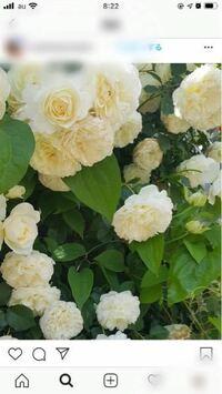 この白バラの品種わかりますか?