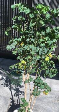 この観葉植物の名前を教えてください。 100cmの高さです。  育て方も教えていただいけたら助かります。  購入2週間、玄関内に置いて良いと聞き、枯れ始めてしまいました。 水やりは一度だけだした。