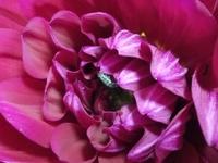 芋虫(毛虫?)の名前を教えてください。 先日、花屋で購入したダリアに黒っぽい芋虫が住み着いていました。 よくみると少しだけ毛がはえています。花びらを食べているようです。 綺麗な蝶になるなら、このまま育て...
