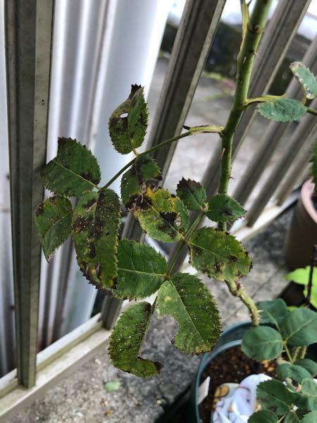 バラの葉が汚いです。 これも、黒星病ですか? ポロっとは落ちないです。