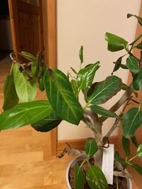 フィカスベンガレンシスの葉が茶色くなり、枯れかけたようになっています。 原因は何が考えられるでしょうか? 3週間前に購入し、室内に置いています。