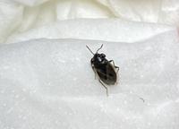 この虫は一体何なんでしょうか…? 室内で見つけました 5mm以下の小さい虫です