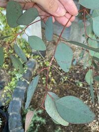ユーカリのポポラスですが、この葉は何か病気でしょうか? だとすれば、対処法を教えてください。 よろしくお願いします!