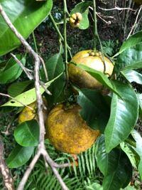 これは何という柑橘でしょうか? 10月中旬に香川県の庭先で撮影しました。 黄色い実は前年の残りでしょうか…黄色く熟しています。 実の大きさは直径8〜10cmくらいです。 やや小ぶりの新しい実も生っています。 よ...