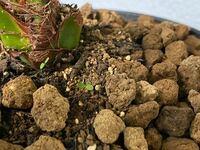 フェニックス・ロベレニーの根本を覗いてみたら何かの芽が出ていました。 ほっといても大丈夫でしょうか? こういう場合は抜いてしまったほうがいいのでしょうか?
