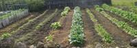 自家用野菜を作っていますが、写真の右から1列目から3列目までホウレンソウ、4列目が小松菜、5列目が茎たち、6列目が青菜、 7列目が野沢菜ですが、所々が赤くなりなくなってしまいます。  元肥は、苦土石灰 2袋、...