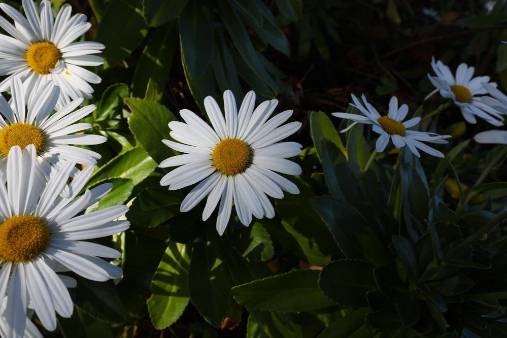 青森の日本海側の海岸に咲いていた花なのですが、わかる方いますか?
