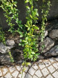 写真のつる性植物の種類は何ですか?jpgに変換しました。