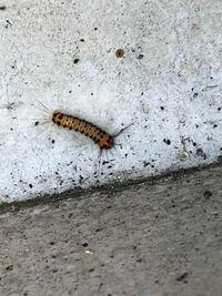 この毛虫は、何という名前ですか? 家の周りに何匹もいて、困っています。  駆除方法と、嫌がる物等ありましたら、 合わせて教えて頂きたいです。  よろしくお願いします。