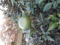 この濃い緑の柑橘類は何でしょうか? 河川敷に1本生えているのですが私有地ではないので実がなったまま放置されています。実が小さい時から見ており黄色い夏ミカンになるのかと思っていましたがずっと緑のままでそのうち落ちると思います。食べられると思うので収穫しようかと思いまして。