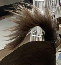チワワの尻尾について。 写真が今わたしが飼っているチワワ(生後7ヶ月)の尻尾です。 たまに噴水のように毛量が多くてフワフワな尻尾のチワワを見かけるのですが、大きくなるとみんなあのような尻尾になるのでしょうか? それともゴムでくくったりトリミングでフワフワにしたりしているのでしょうか?