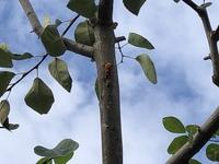 20年近く我が家にあるジューンベリー、そのジューンベリーの枝に虫が潜り込んでいる様なのです。 潜り込んでいる穴からはオレンジ色の樹液がこぼれ落ちている状況です。 考えられる虫は何でしょうか? また駆除...