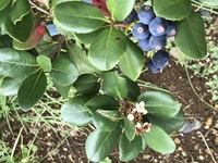 白い花から青い実のなる、この植物の名前を教えて下さい。
