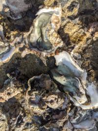貝の種類教えて下さい。海岸の岸壁に牡蠣のような貝がへばりついていました。貝の種類と食用できるか教えて下さい。貝の中身は薄いグリーン色です