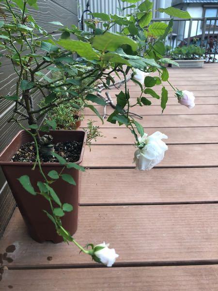 F&Gローズの《みさき》について。 細い枝に咲く、と聞いたことがありますが、俯いて咲く、とは聞いてなくて、茎が細ければ花が重くて品垂れる、というのはわかりますが、これで大丈夫なのでしょう...