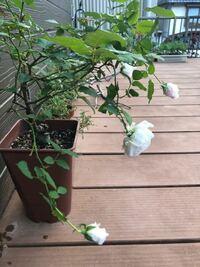 F&Gローズの《みさき》について。 細い枝に咲く、と聞いたことがありますが、俯いて咲く、とは聞いてなくて、茎が細ければ花が重くて品垂れる、というのはわかりますが、これで大丈夫なのでしょうか。。。