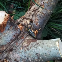カミキリムシは見つけたら駆除した方がいいですか? 庭のイチジクの木がカミキリムシにやられて切り倒したのですが、その切り倒した所にカミキリムシがたくさん群がってました。 調べてみたところ、おそらくキボ...
