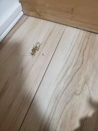 この虫は、なんの虫でしょうか? 家の中の壁を上から下に降りてきたみたいなんですが、、、どこから侵入してくるのでしょうか?