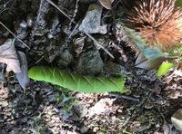 青虫?幼虫に詳しい方教えてください。 家の栗の木の下で栗集めしていたら、びっくりするほど大きな幼虫に出くわしました。 栗のイガも平気みたいでまとわりついています。これなんですか?