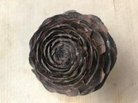 松ぼっくり拾いをしてたら花のような形をした木の実?みたいなものを見つけました。 これはなんという植物なんでしょうか?