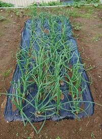 玉ねぎ苗を穴あきマルチに 植えて写真ほどに成長しま した。このまま冬を迎えて 良いですか?