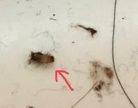 ※虫画像注意※  この虫はなんという名前の虫でしょうか? 部屋でたまに見かけます。体長は3〜4ミリだと思います。気色悪いです…。 よく見ると短い毛?繊維っぽいものも生えています。色は茶黒という感じです。