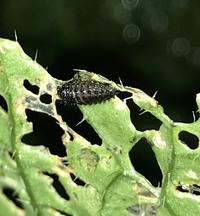 白菜が虫食いで穴だらけになってしまいました。 苗を植えた時に虫除けに白い寒冷紗を被せましたが、寒冷紗の中で虫がわいて食われてしまいました。写真の黒い虫で葉っぱに触れるとすぐにポロッと落ちてしまいます...