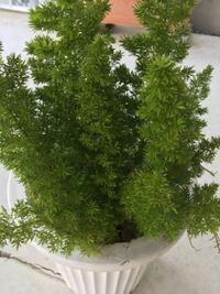 画像の植物の名前を教えてください。 根っこが太くコブのような物がついています。