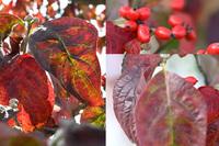 赤い実と赤い葉の街路樹ですが、これは何の木かわかる方いらっしゃいますか? ネットの図鑑で調べた限りでは、ハナミズキが一番近いと思ったのですが、葉の形が微妙に違うような気もしています。