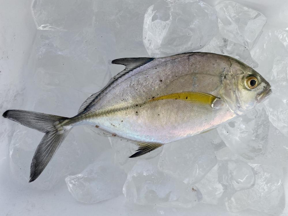 この魚が何かわかりますか? 毒はあるのでしょうか? 食べられますか? 大至急、お願いします。