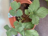 家庭菜園素人です。 10月にプランターにイチゴの苗を植えました。 一ヶ月くらい経ったところ、葉の色が艶がない感じになってきました。 水は2日に一度くらいあげており、少し肥料をあげました。 何が原因なのか不明です。 アドバイス頂ければ幸いです。
