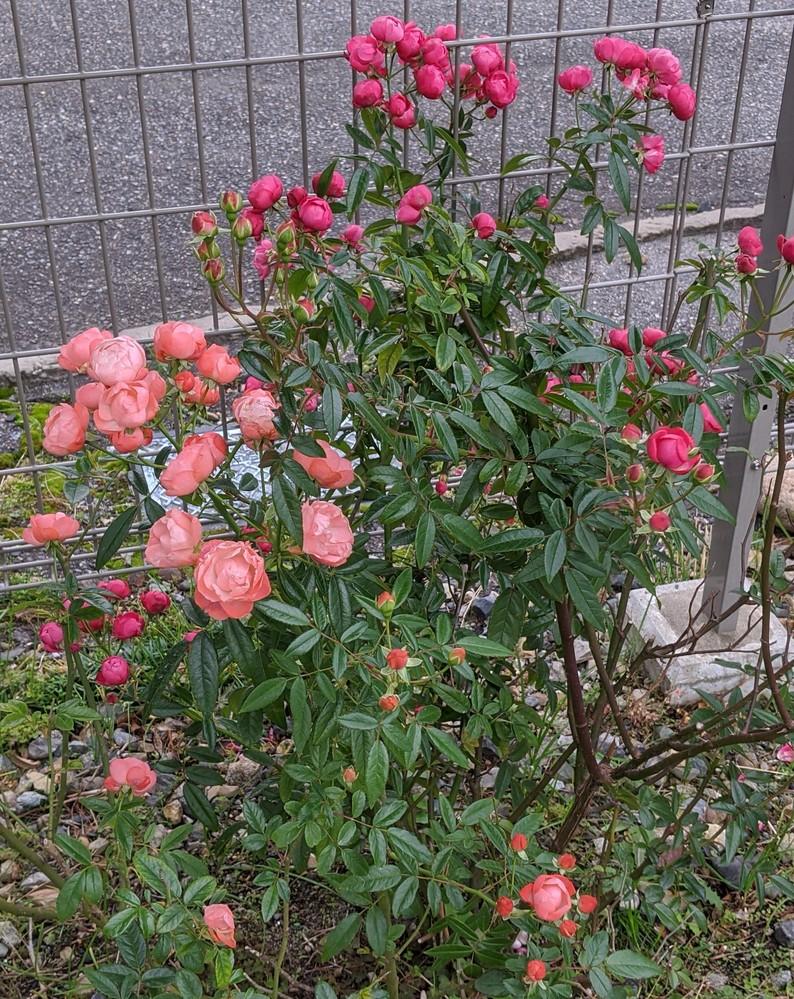 この薔薇はミニバラですか?
