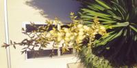 この植物の正体は? 庭にある植物です。 最近、茎が伸び出し花が咲きそうです。  リュウゼツラン(アガベ)だと思っていましたが、調べると花が違う気もします。  リュウゼツランだとしたら、花が枯れると同時に全部死んでしまうのでしょうか?