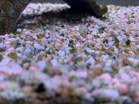 メダカ水槽の床材と小型熱帯魚の水槽についてです。 近々新しく小型熱帯魚水槽を作りたいと思ってるのですが、今あるメダカ水槽の床に下の画像のようなピンクの床材を使っていて、このメダカ水槽はメダカとミナミ...