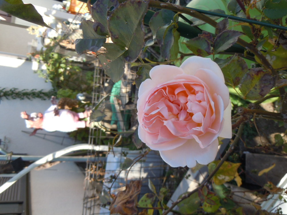 画像の薔薇の品種ですが分かる方いますか? いたら教えて下さい。