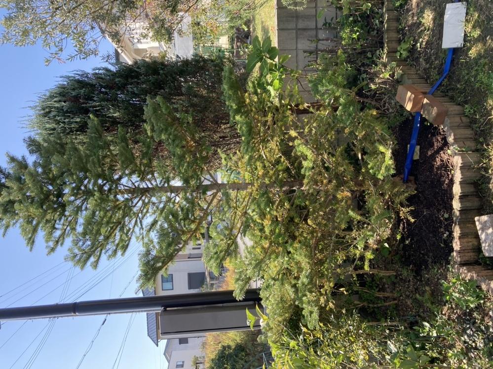 家の庭に植えているもみの木が最近、下の方から色が変わって葉が落ちてきました。 もう、3年になり元気にしていたのですが... 原因と対処法を教えていただけないでしょうか?