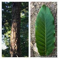 クヌギの木を探していたのですが、特徴から見てこれかな?とは思ったのですが確証はありません。アベマキや栗の木も似ているからです。どんぐりは下を少し探しましたが、木自体があまり太くなくまだできていないのか 見つかりませんでした。もしこの写真だけで見分けることができる方がいらっしゃいましたらぜひ教えてください。