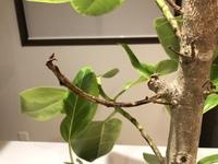 観葉植物のアルテシマの一部が写真の様に茶色くスカスカになっています。 これは枯れていると思うのですがどのように処置をすれば良いでしょうか? また他の葉が付いている枝はそのままで良いですか? 初めて観...