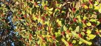 画像の赤い実は、何の木の実でしょうか? どなたか御教授お願い致します。 m(_ _)m