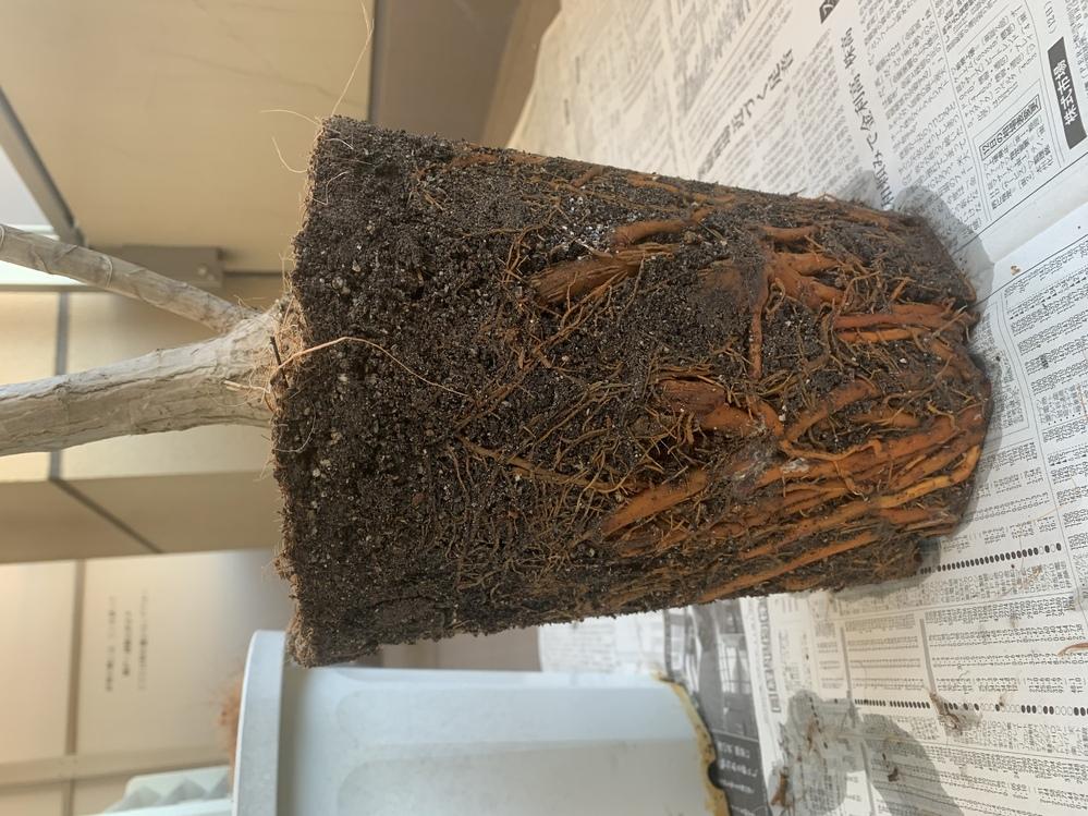 ドラセナに詳しい方にお伺いします。 寒くなって、葉っぱがなくなっている状態です。 1月ほど前に花屋さんで、水のあげかたを教わってやっているのですが、 いろいろなサイトで根腐れしているかどうかが気...
