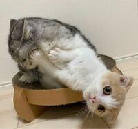 先住猫8ヶ月と新入り猫2ヶ月についてです。 いつも写真のように先住猫が新入り猫を襲います新入り猫はシャーシャー言って逃げ回ります。 戯れてるだけなのか躾けてるのかやめさせなきゃいけないのかわかりません...