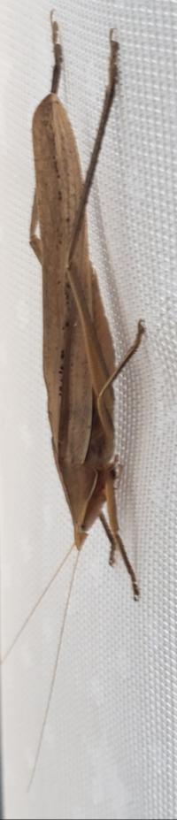 このバッタの様な虫は何ですか?
