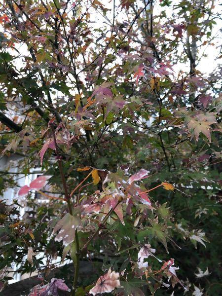 庭に植えているもみじ でのご質問になります。 もみじを植えて約10年程になりますが、一度も綺麗な紅葉になりません写真のように赤くなったら直ぐに枯れます。 赤くなる前に枯れるのが大半です。 赤くな...
